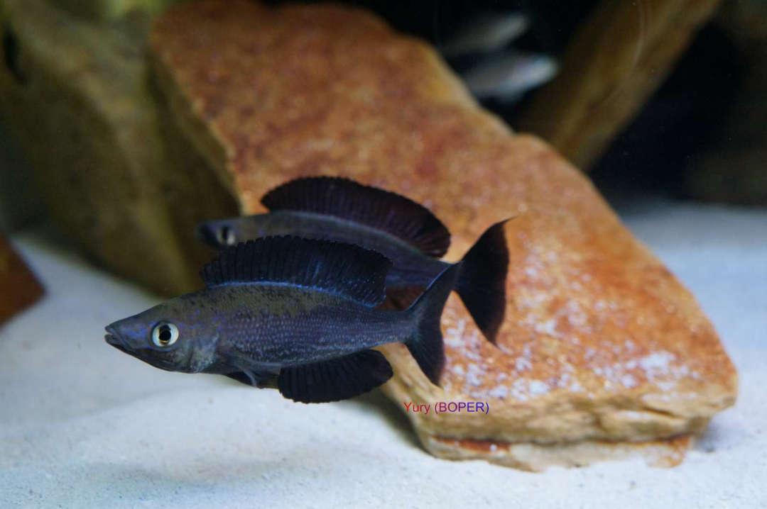 Сyprichromis microlepidotus kiriza black