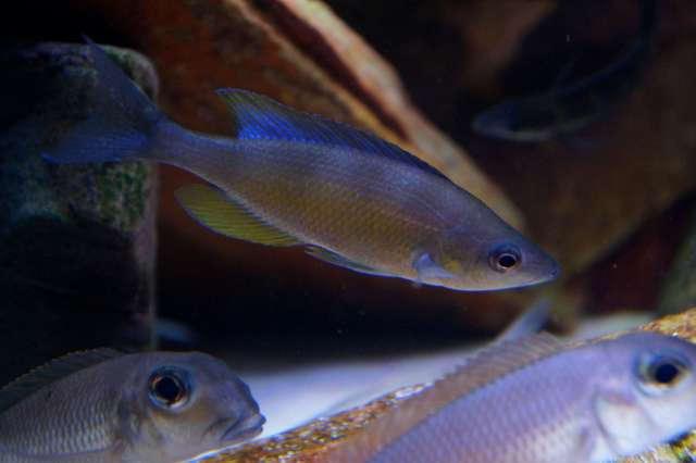 Cyprichromis zonatus Zebra Chituta