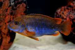 Iodotropheus sprengerae (самец).JPG