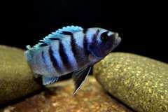 Cynotilapia spec. 'Gallireya Reef (самец).JPG