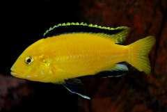Labidochromis caeruleus yellow (самец).JPG