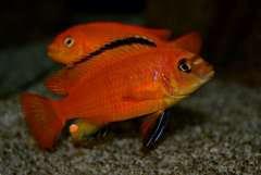 Pseudotropheus orange deep(чешская селекция) (молодой самец).JPG