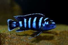 Chindongo demasoni (1).JPG