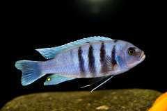 Cynotilapia spec. 'Gallireya Reef (3).JPG