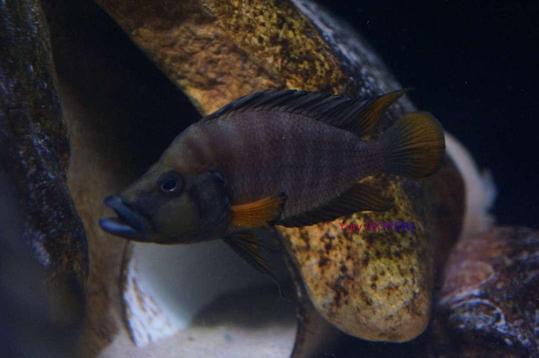 Altolamprologus compressiceps red fin Chituta