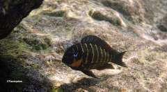 Tropheus sp. 'mpimbwe' Katondo