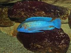 Melanochromis lepidiadaptes