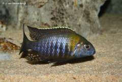 Aulonocara sp. 'chitande type nkhomo'