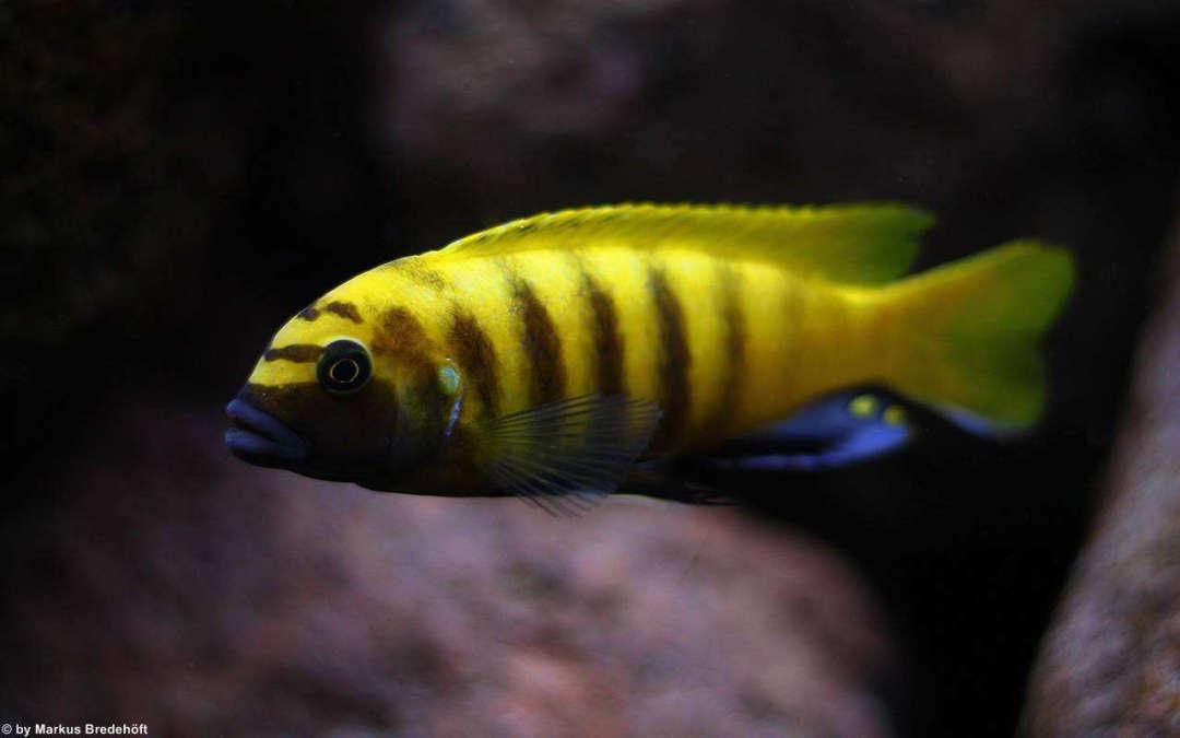Metriaclima sp. zebra gold kawanga