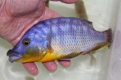 Protomelas sp. 'mbenji thick-lip'