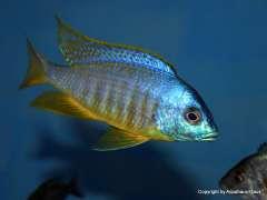 Placidochromis sp. 'electra blackfin'