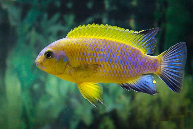 Tropheops sp. 'mauve yellow'