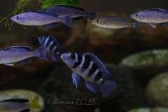 Neolamprologus tretocephalus