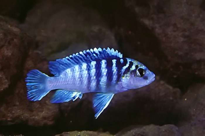 Labidochromis chisumulae