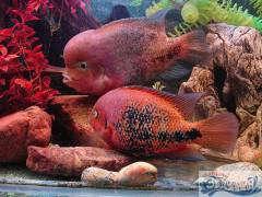 Радужные цихлазомы