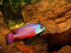 Protomelas taeniolatus Namalenje самец дикарь