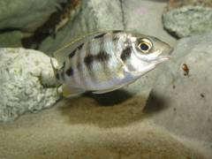"Protomelas sp. steveni ""Taiwan Reef"""
