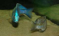 "Placidochromis sp. ""electra blue"" (танцы)"