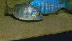 "Нерест Placidochromis sp. ""electra blue"" (подбор)"