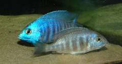 "Нерест Placidochromis sp. ""electra blue"" (икра)"