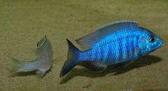 "Нерест Placidochromis sp. ""electra blue"" (начало)"