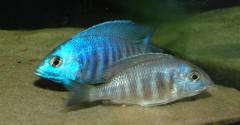 """Нерест Placidochromis sp. """"electra blue"""" (икра)"""