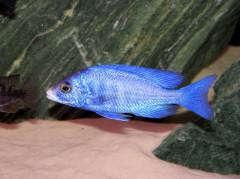 Самец Placidochromis Phenochilus (Mdoka)
