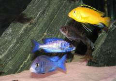 Placidochromis Phenochilus (Mdoka), Labidochromis caeruleus 'yellow'