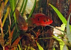"""Hemichromis sp. """"Bangui"""", пара. Фото Е. Грановского. Аквариум Е. Солнцевой."""