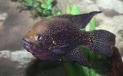 Madagascar Cichlids