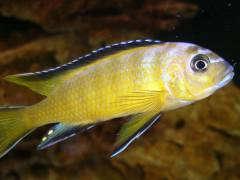 Pseudotropheus spec. 'elongatus Usisya'