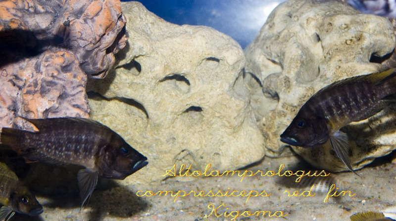 Altolamprologus compressiceps red fin Kigoma