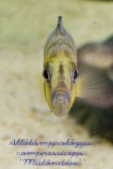 Altolamprologus compressiceps 'Mutondwe'