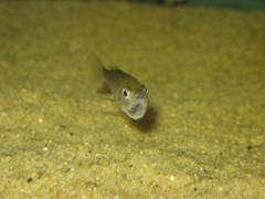 Cyprichromis leptosoma 'Mpulungu' (самка)
