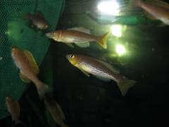 Cyprichromis microlepidotus kavalla