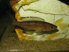 Cyprichromis microlepidotus kavalla (самка)
