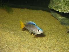Cyprichromis leptosoma 'Mpulungu' (самец)