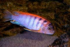 "Labidochromis spec.""Hongi"""