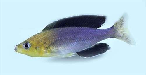 Cyprichromis jumbo tricolor
