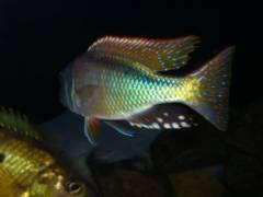 Buccochromis notataenia