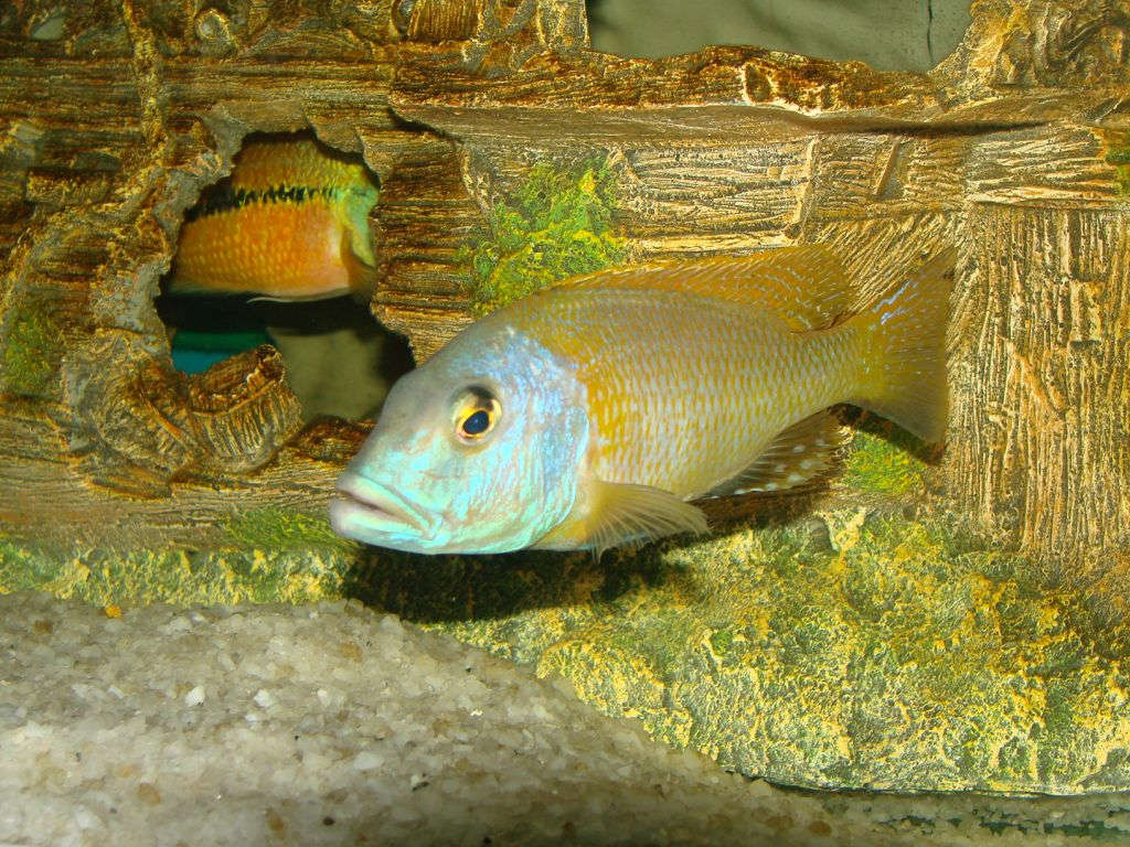 buccochromis_rhoadesii