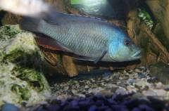 Nimbochromis livingstoni Самец