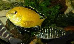 Labidochromis & Troph