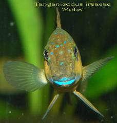 Tanganicodus irsacae 'Moba'