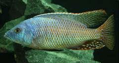 Stigmatochromis sp. 'spilostichus type'