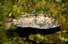 Labeotropheus trewavasae 'Manda'