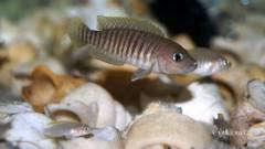 Lamprologus multifasciatus