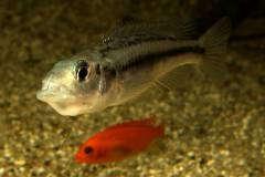 Haplochromis thereuterion