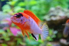 Labidochromis spec. 'Kimpuma red'