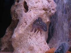Tanganicodus irsacae 'Ikola'